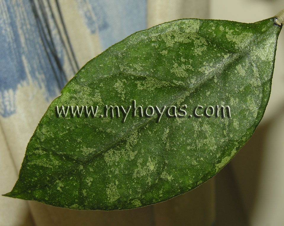 Hoya Sp Chicken Farm